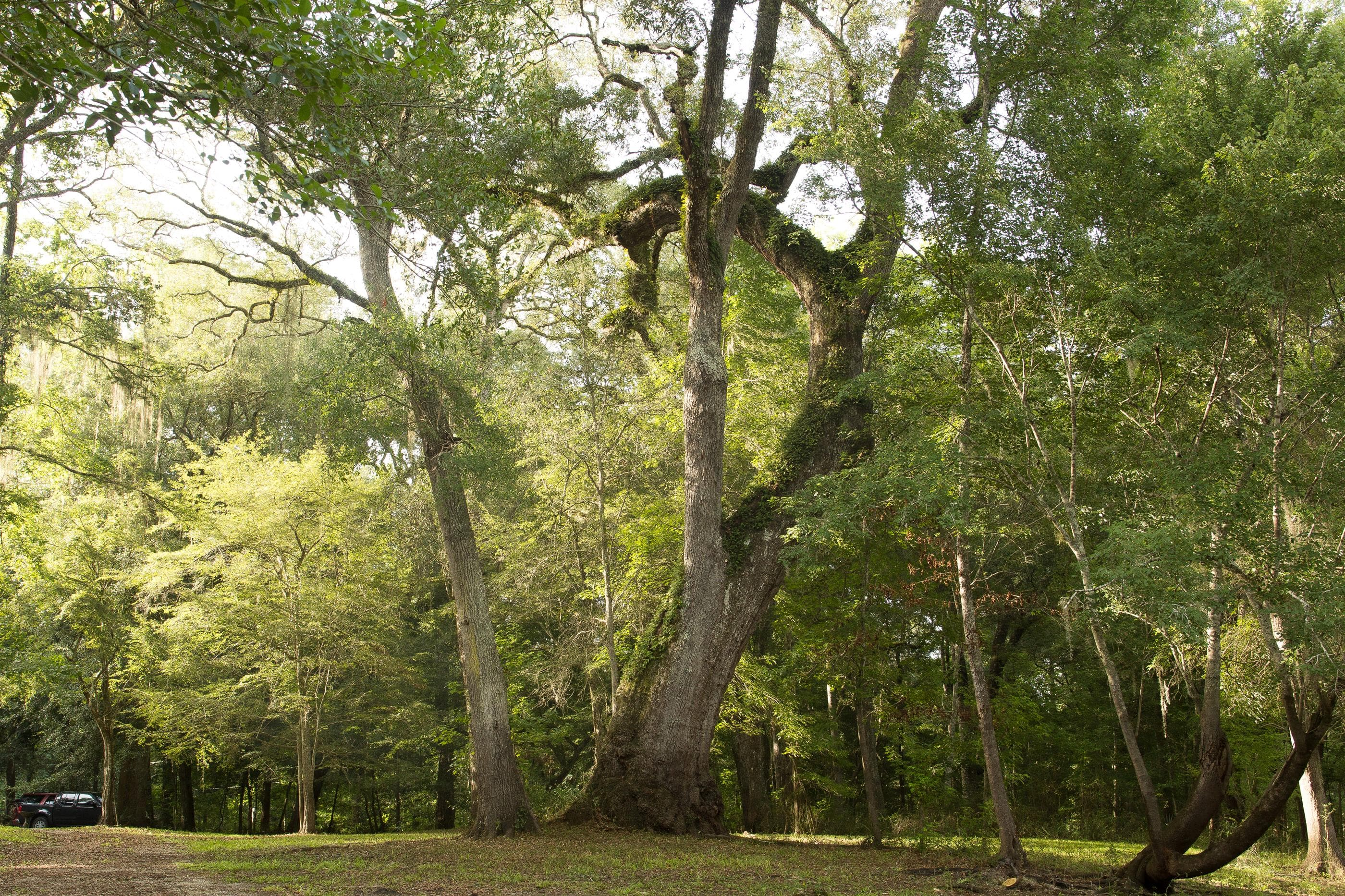 Old water oak tree near Santa Fe River in Suwannee County
