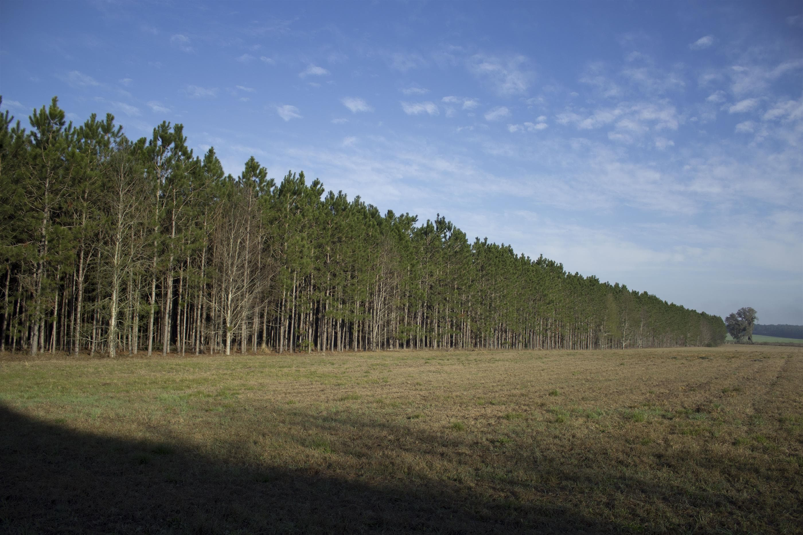 Pasture and pine trees on land in North Florida for sale