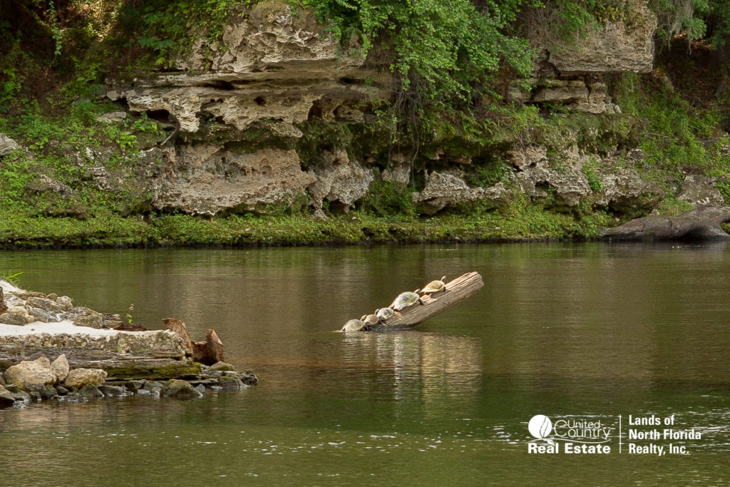 5 turtles lined up in a row on a log sunning on the Suwannee River