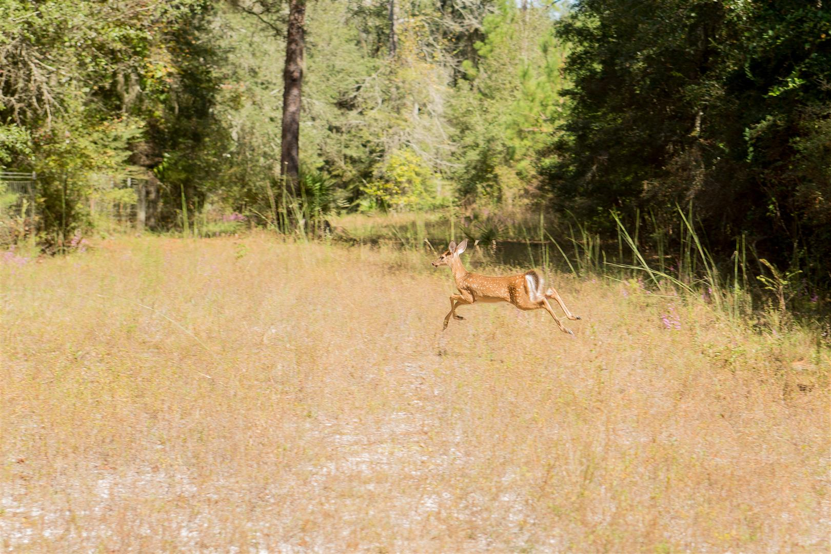 Young Deer on property